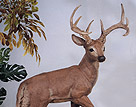 Standing Buck #2931